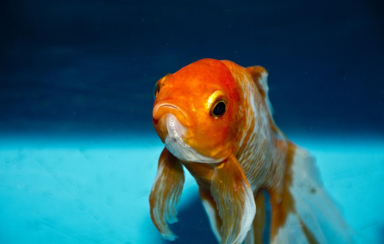金魚を食べてダイエット!?